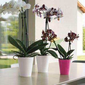 maceta clivo orchidea en agriplant